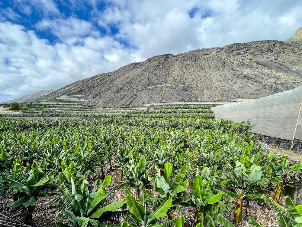 Banana fields in the Canary Islands